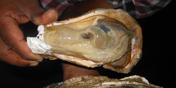 Farmed fresh tropical oyster