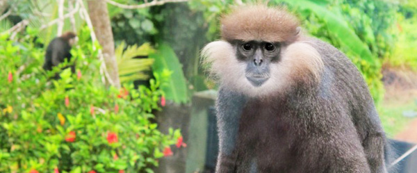 Western Purple Faced Leaf Monkey