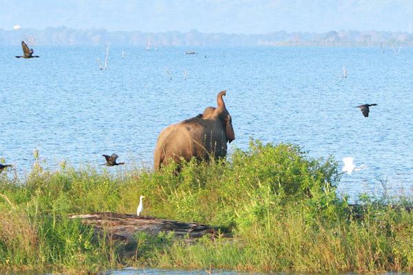 gal-oya-elephant